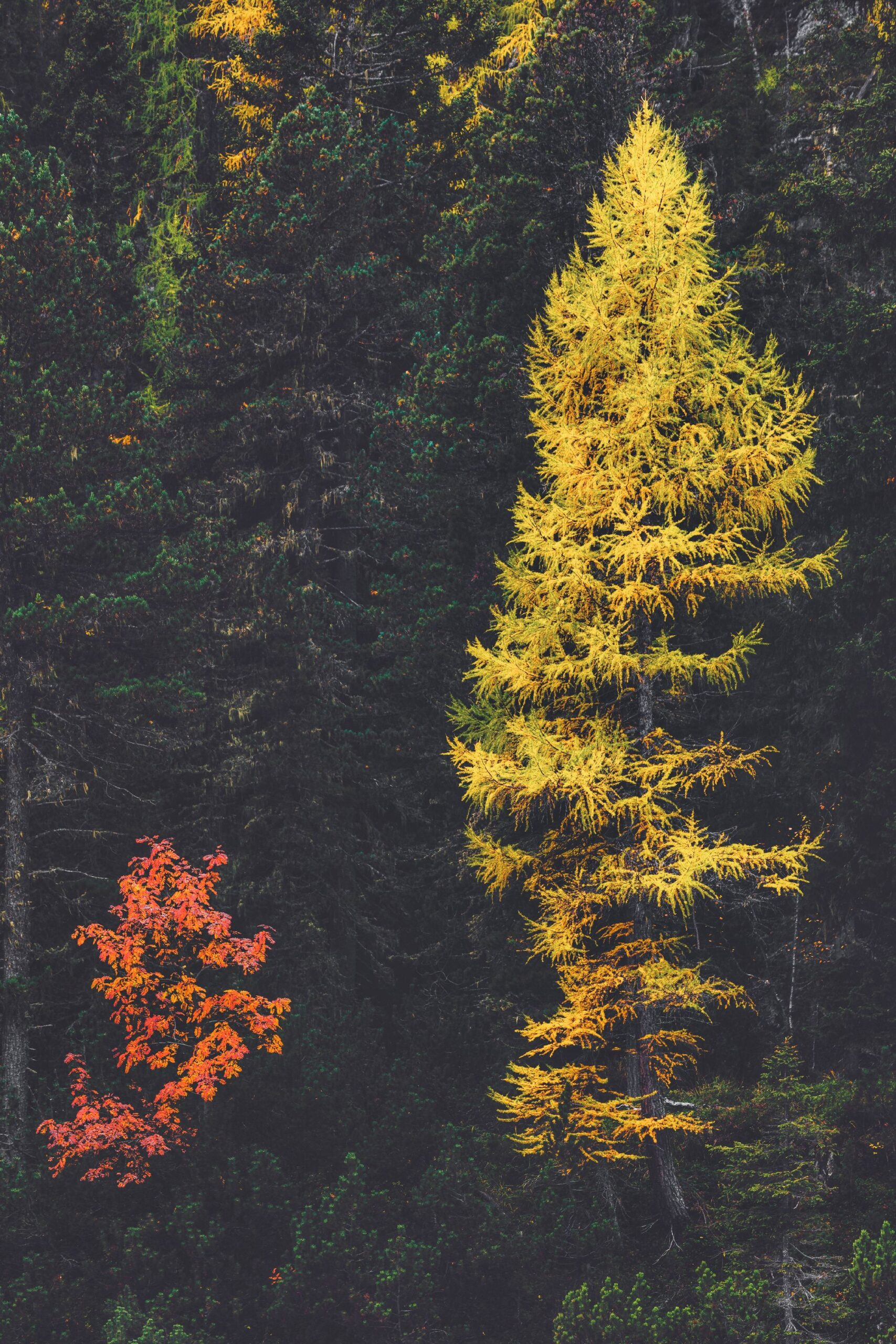 150344-spruce_fir_forests-plant-mixed_coniferous_forest-biome-vegetation
